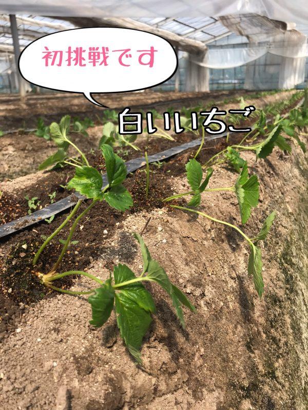 いちご苗植えました。その②